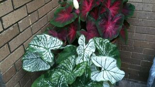 q i want to add color to my shady front yard can i plant caladium bulbs now if so, gardening, The caladiums I planted in early april