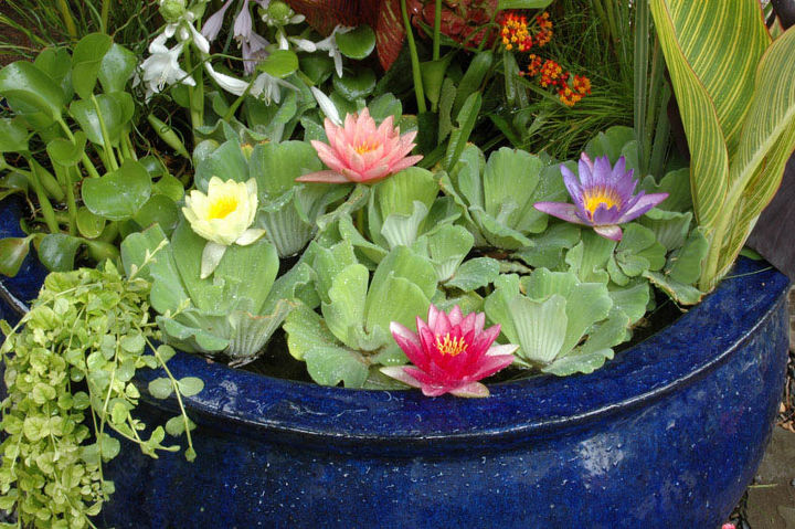 If you love waterlilies but don't have a pond, simply grow them in a water-tight container. Be sure they receive at least 6 hours of full sun.