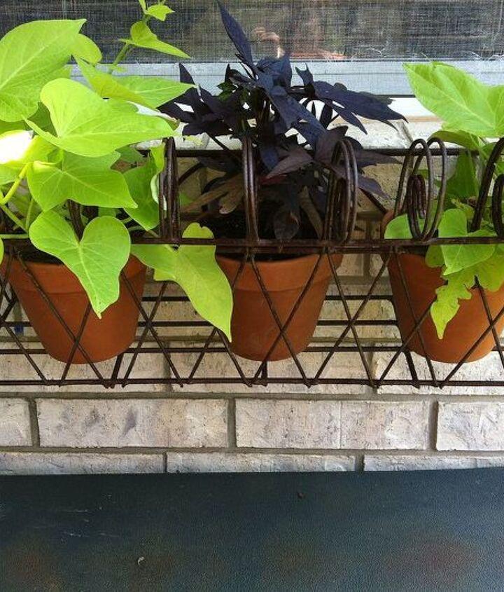 Sweet potato vine window box