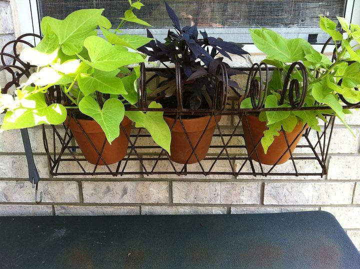 garden, container gardening, gardening, landscape, Sweet potato vine window box