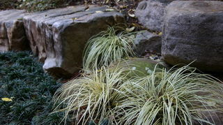 q shade loving plants, flowers, gardening, landscape, perennial, Carex Evergold and dwarf mondo great for shade