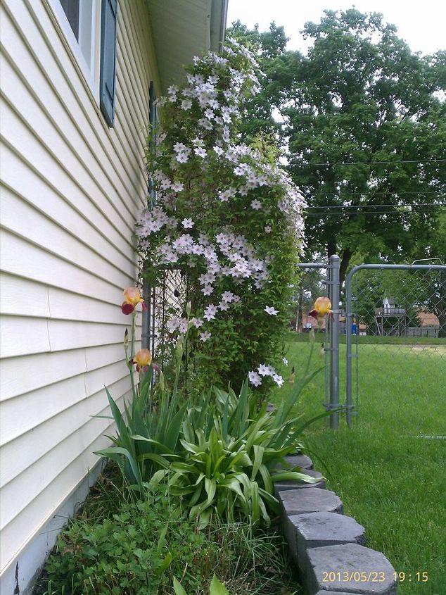 clematis w iris in garden, gardening