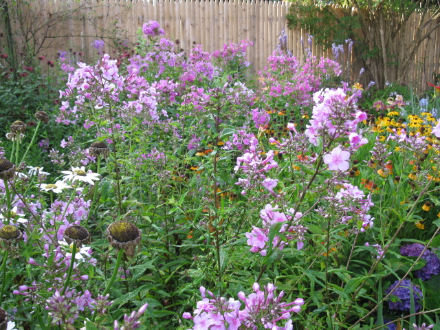 i see phlox everywhere, gardening
