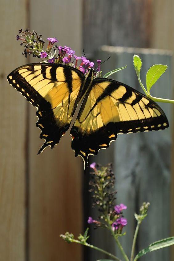 yellow swallowtail, pets animals, A yellow swallowtail on my buddliea