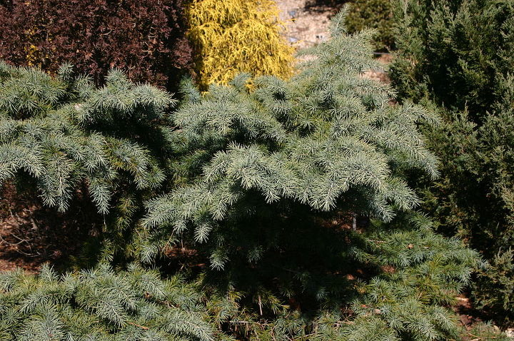 Cedrus deodara 'Divinely Blue.' This conifer is hardy to Zone 6 and provides color year around. Give plenty of space to grow.