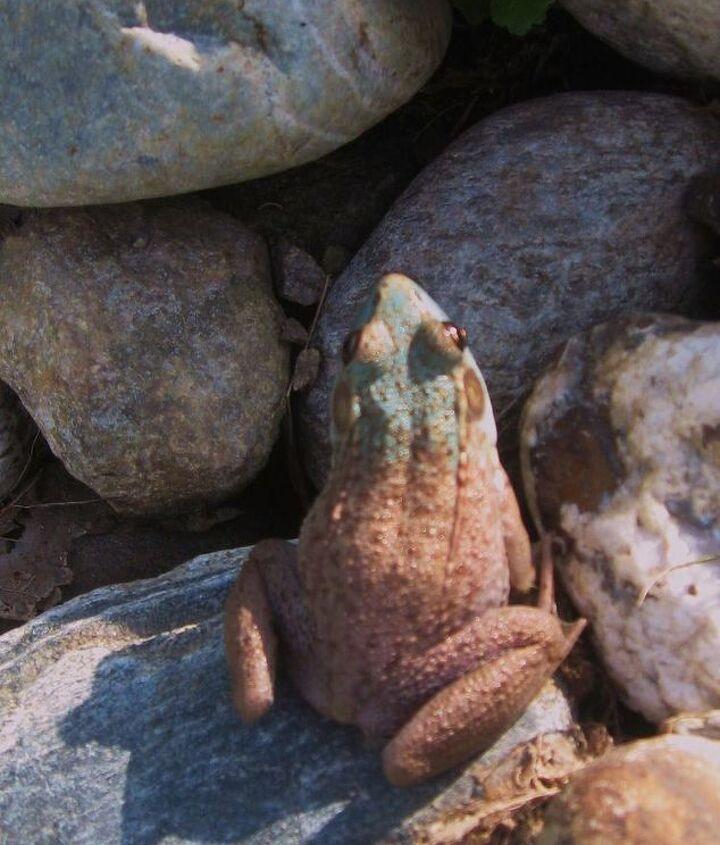 Blue Frog   www.naturescapespro.com