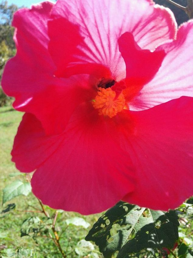 This is a single Red Hibiscus That i got from the same friend. the Bumble bees are still busy around the blooms that are available.