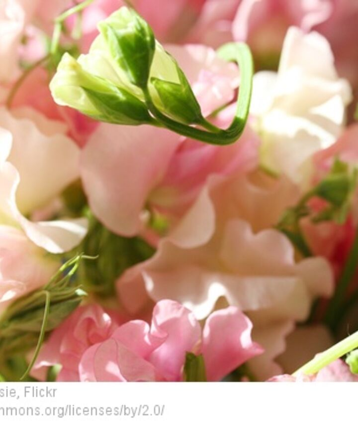 simple sweet and scentsational planting sweet peas, gardening