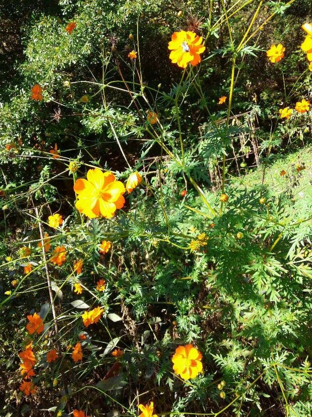 different angle of the cosmos w/ marigolds below