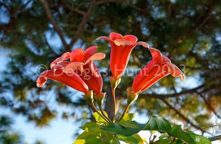 fall color florida style, gardening, Crossvine Bignonia capreolata Tangerine Beauty