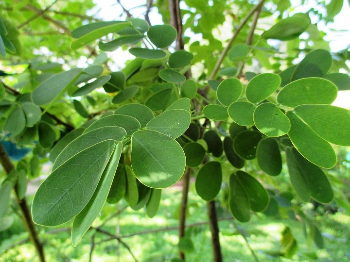 Favorite Cassia Leaves