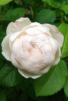 cottage garden flowers, flowers, gardening, outdoor living, Windemere old fashioned rose