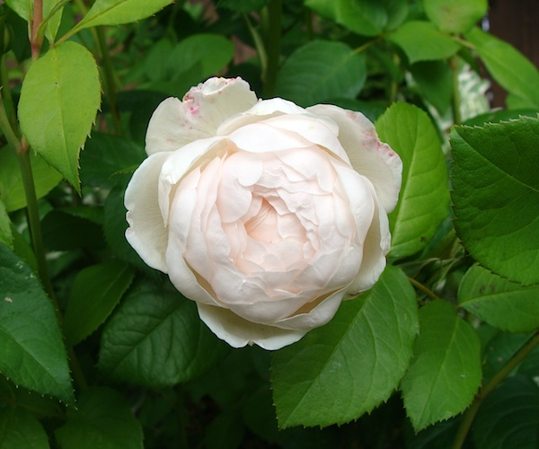 'Windemere' old fashioned rose.
