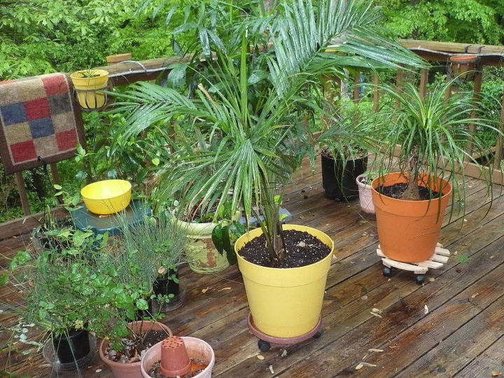 Photo taken in rain, we have all kinds of palms.  We have discovered Ponytail Palm (not really a palm) & love!  These are for porch & deck.