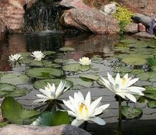 brighten your water garden with white water lilies, flowers, outdoor living, ponds water features, N odorata and N Wood s White Night flowering in an 8 x 11 water garden