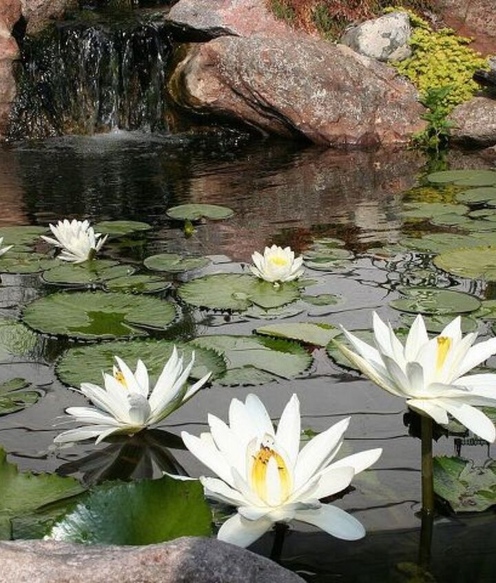 N odorata and N 'Wood's White Night' flowering in an 8 x 11' water garden.