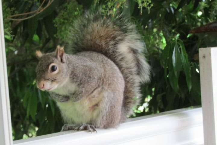 This squirrel we actually named and has been coming around for three years now. I can hand feed it.