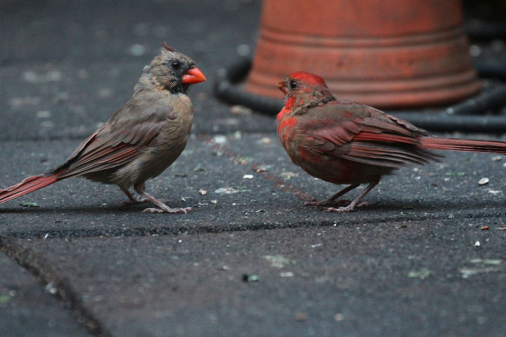catching crumbs that fall to the floor followup 3 to 8 22 s post, decks, gardening, outdoor living, pets animals, urban living, This appeared on COL s FB Page with Cam s Dilema Tough Love To Feed OR NOT To Feed Vincenzo that is the Question INFO