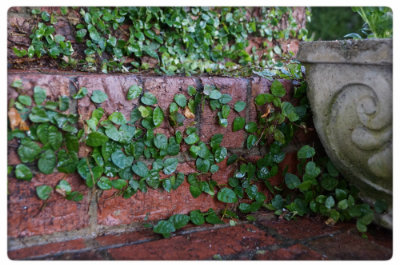 Creeping fig on the porch steps