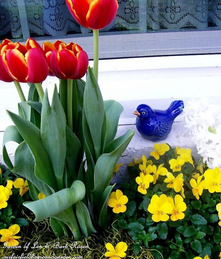 Tulips and pansies brighten an early spring windowbox