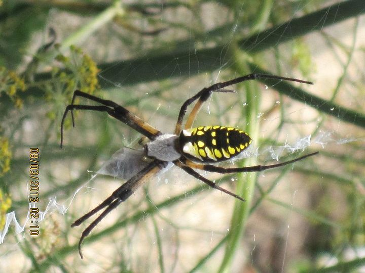 eww, a garden spider. I use zoom camera to take this pix.