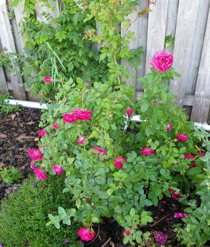 """An """"Easy Elegance"""" rose from Bailey's"""