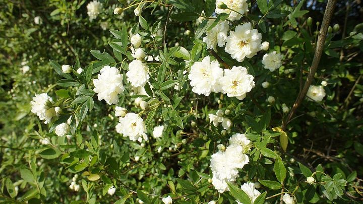 This climbing rose is in it's sixth year and reaches over 12 feet.