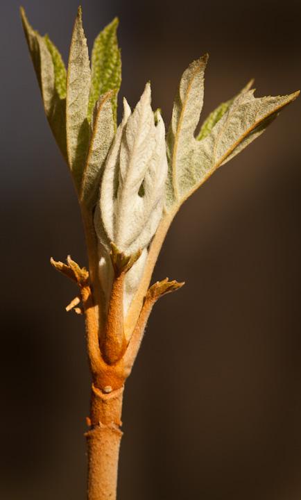 Oakleaf Hydrangea opening up as temperatures warm.