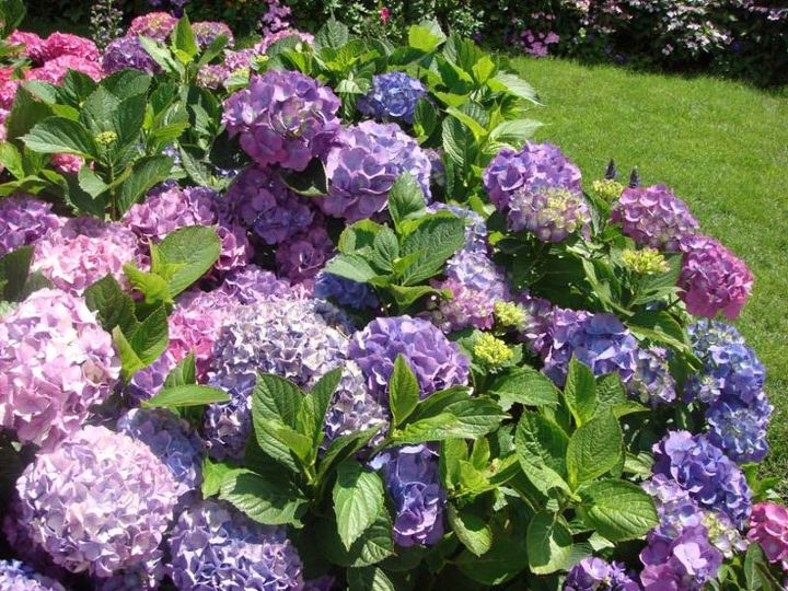 my beautiful hydrangea in the garden love them, flowers, gardening, hydrangea, hydrangeas from cottage farms com
