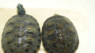 , This is Tony and Dayna From Daytona Beach I am taking care of them for my Nephew s girlfriend who cannot keep them in her dorm room any longer They are yellow belly slider turtles