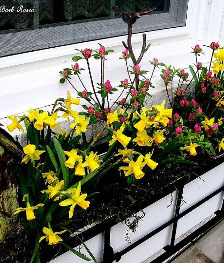 Birdhouse, tete a tete narcissus and budded azaleas in the window box