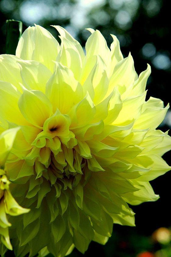 dahlias in bloom, flowers, gardening, perennials