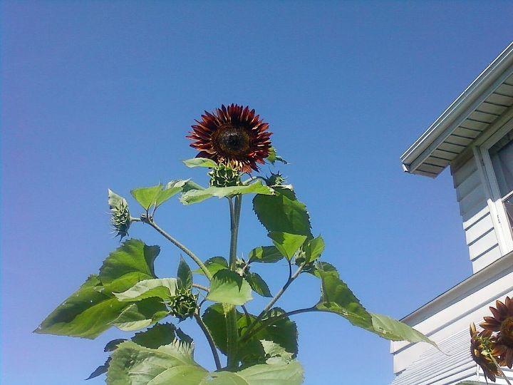 my tallest sunflower, gardening