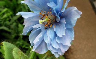 himalayan blue poppies a gardener s dream, gardening, Meconopsis Lingholm with double flowered bloom on display at Longwood Gardens in Chadd s Ford Pennsylvania