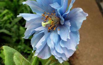 Himalayan Blue Poppies ~ A Gardener's Dream