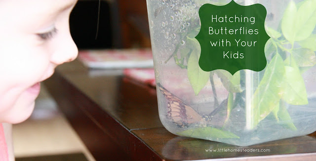 hatching butterflies with your kids, homesteading, outdoor living, pets animals