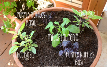container gardening, container gardening, gardening, I surrounded the pepper with colorful fragrant basils I planted Thai and Purple Ruffle basils The nice thing about these herbs I can begin using small amounts immediately