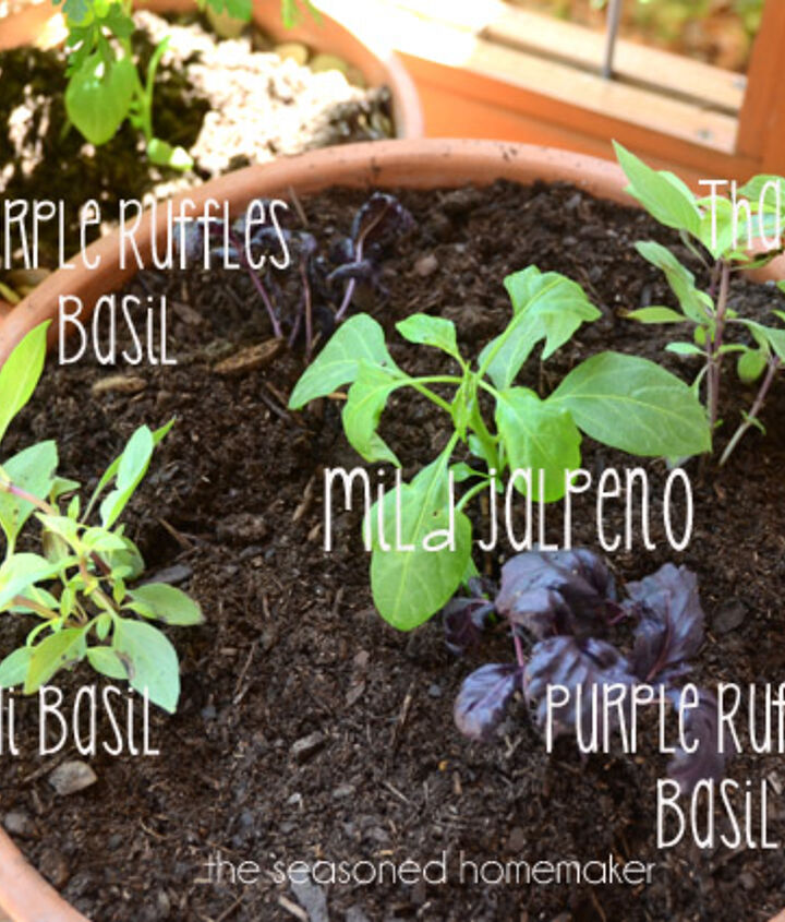I surrounded the pepper with colorful, fragrant basils.  I planted Thai and Purple Ruffle basils.  The nice thing about these herbs, I can begin using small amounts immediately.