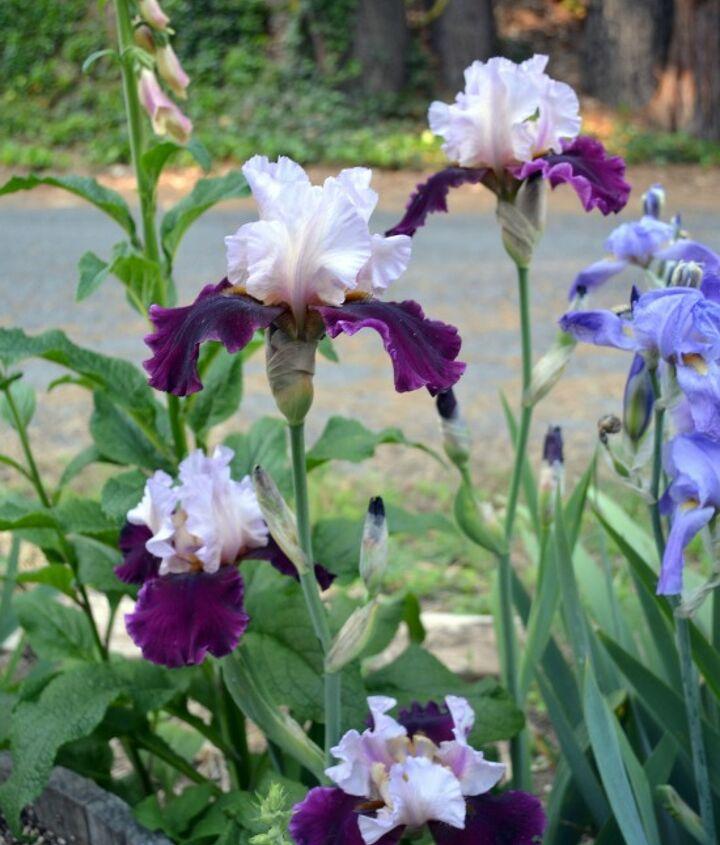 Lovely Iris.