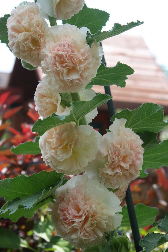 They can grow over 6-8 feet Tall. Plant against, House, Fence or Wall for Safer Keeping from Wind. Staking DEF. required!  Easily gets fungus spots on leaves, due to over watering of leaves, simply deadhead infected leaves. Water soil.