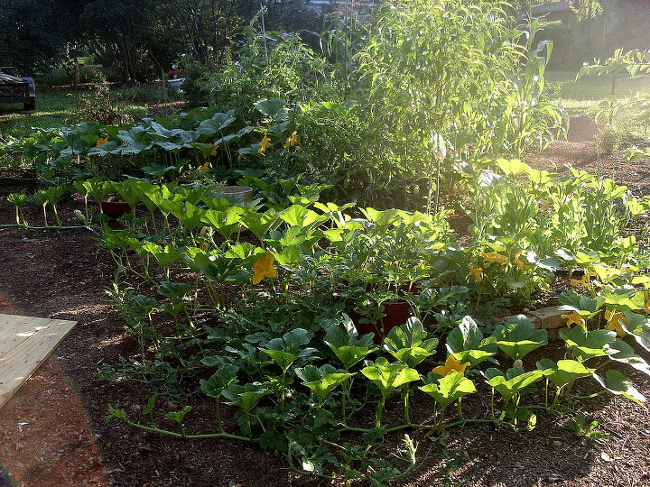 do i fertilize first or spray for insects, gardening, pest control, the veggie garden