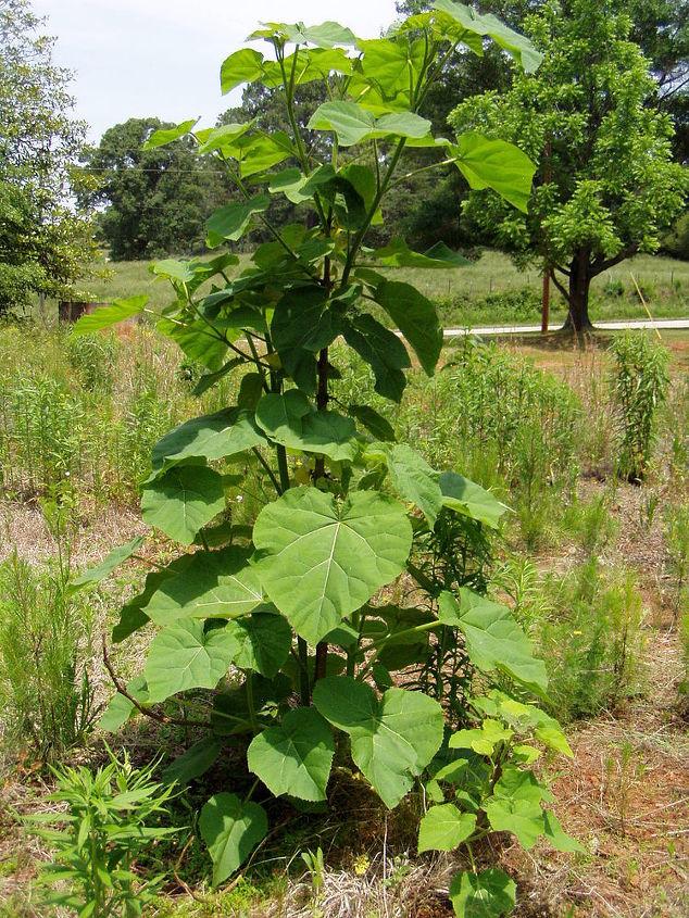 q name this plant
