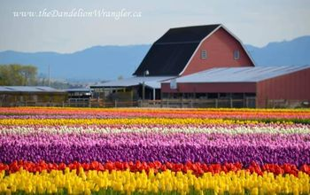 the skagit valley tulip festival tulip town follow the rainbow, gardening