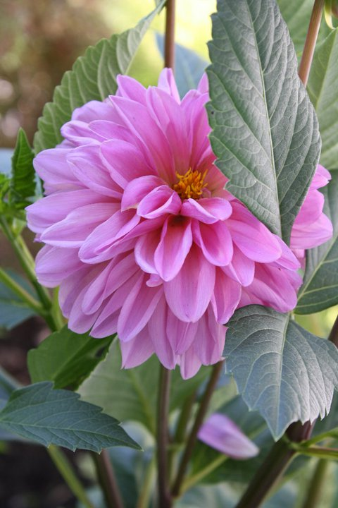 Dahlia, easiy grown by tubers. They multiply each year and bloom til late fall to frost.