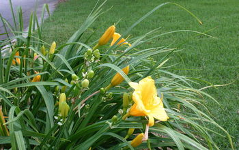 Making daylilies bloom again