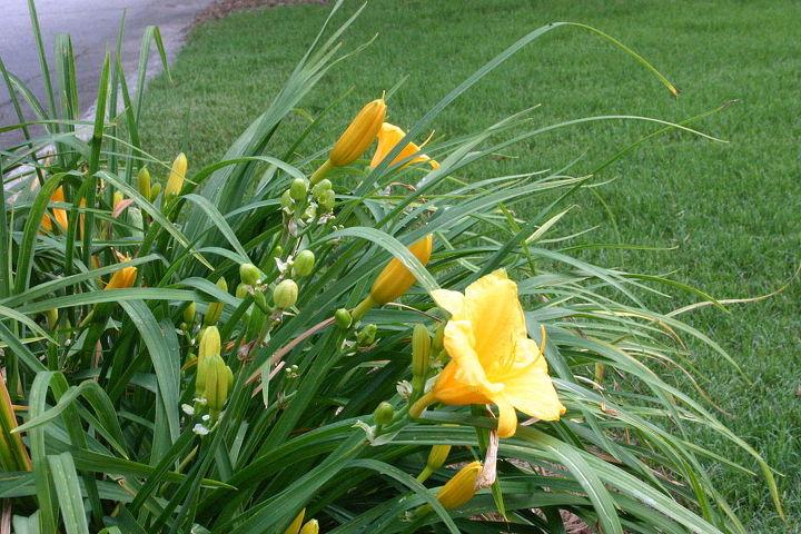last few blooms on Stela d'Oro