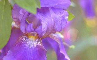 growing and dividing bearded iris, flowers, gardening
