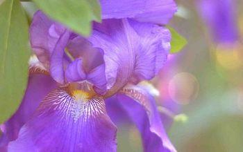 Growing and Dividing Bearded Iris