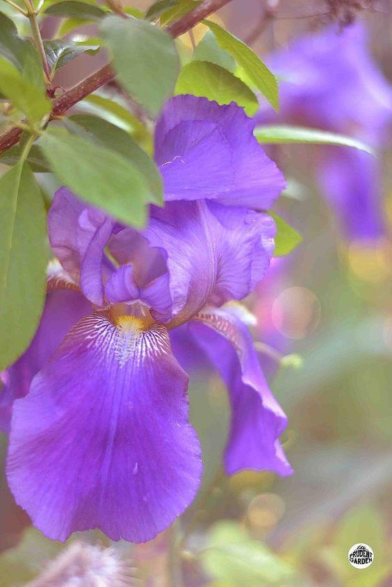 growing and dividing bearded iris, flowers, gardening