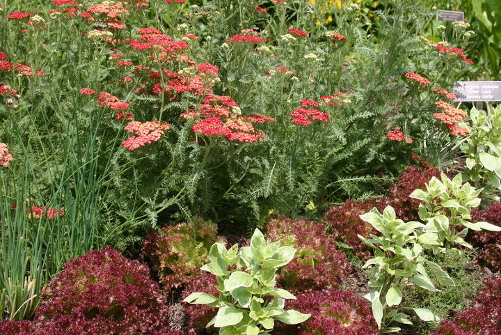 mother s day gift ideas, container gardening, flowers, gardening, Yarrow with loose leaf lettuce and basil